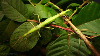 Phasmatodea desktop wallpapers