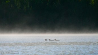 Common Loons on the misty lake at morning desktop wallpapers