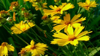 Coreopsis desktop wallpapers