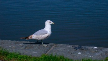 Ring-billed gull desktop wallpapers