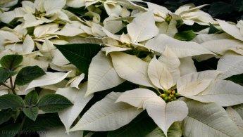 White Poinsettias desktop wallpapers