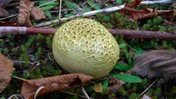 Puffball mushroom desktop wallpapers