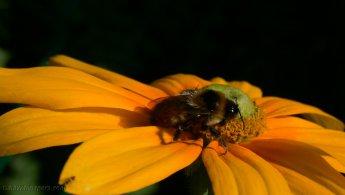 Bumblebee desktop wallpapers