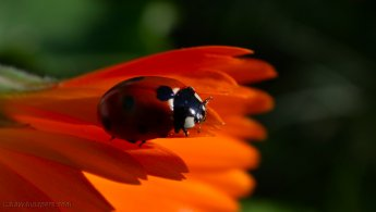 Ladybirds desktop wallpapers