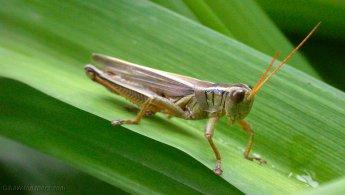 Grasshopper desktop wallpapers