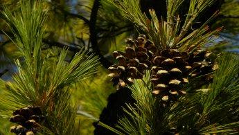 Pine cones desktop wallpapers