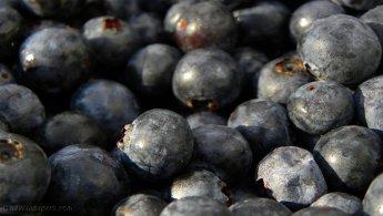 Lowbush blueberries desktop wallpapers