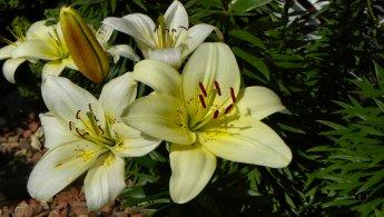 Lilies desktop wallpapers