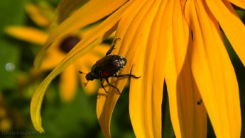 Small insect climbing a Rudbeckia desktop wallpapers