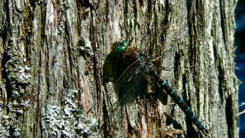 Dragonfly on bark desktop wallpapers