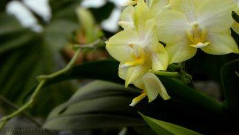 Soft yellow orchids desktop wallpapers