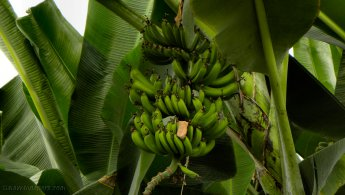 Green bananas in a banana tree desktop wallpapers