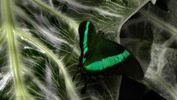 Butterfly desktop wallpapers