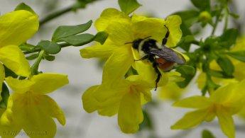 Orange-belted Bumblebee gathering nectar desktop wallpapers