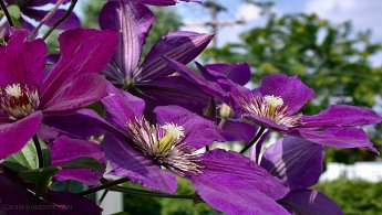 Clematis desktop wallpapers