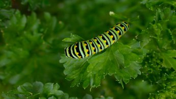 Caterpillars desktop wallpapers