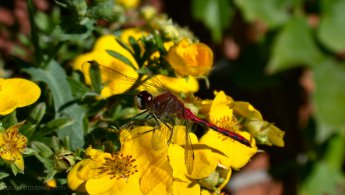 Dragonfly on a yellow flower desktop wallpapers