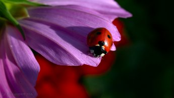 Ladybug on a flower desktop wallpapers