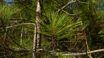 Pine Needles desktop wallpapers