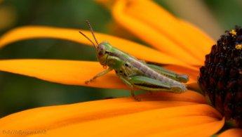 Grasshopper on a Rudbeckia desktop wallpapers