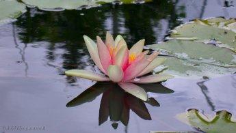 Water lily flower at its peak desktop wallpapers