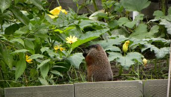 Marmot eating in the garden desktop wallpapers