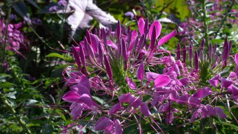 Cleome desktop wallpapers
