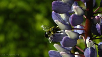 Bumblebee gathering pollen in a Lupin desktop wallpapers