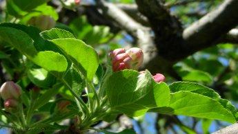Apple tree flowers blooming desktop wallpapers