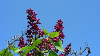 Lilacs in the blue sky desktop wallpapers