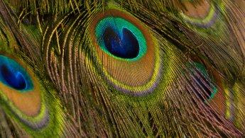 Peacock feathers desktop wallpapers