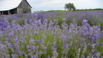 Lavender fields desktop wallpapers