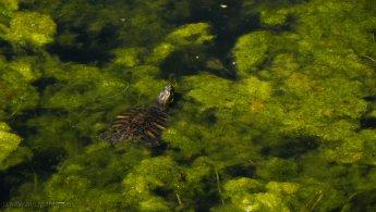 Red-eared slider turtle hidden in the marsh desktop wallpapers
