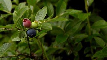 Three-color blueberries desktop wallpapers