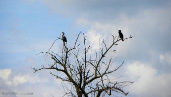 Cormorans perchés dans les arbres morts fonds d'écran gratuits