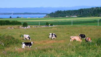 Cows near the Saint Lawrence River in Kamouraska desktop wallpapers