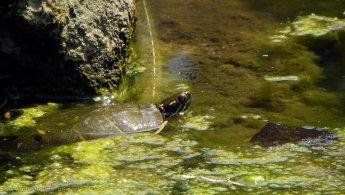 Turtle relaxing in a green pond desktop wallpapers