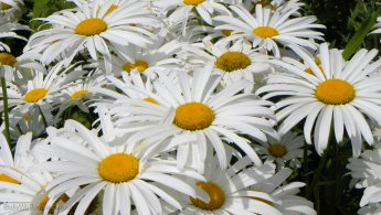 Daisies in the sun desktop wallpapers