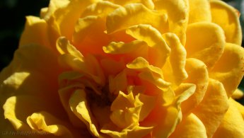 Yellow rose desktop wallpapers