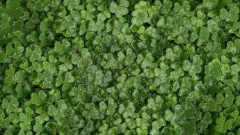 Artificial plastic clovers desktop wallpapers