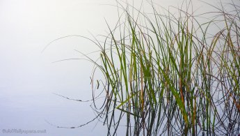 Aquatic plant reflection in the fog desktop wallpapers