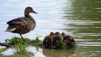 Mallard mother watching over her ducklings desktop wallpapers