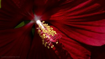 Hibiscus reproductive organ desktop wallpapers