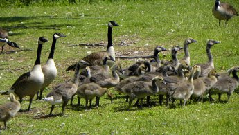 Canada Geese with their goslings desktop wallpapers