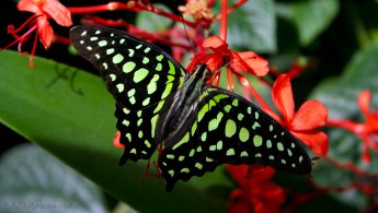 Beautiful butterfly with emerald colors desktop wallpapers