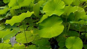 Lotus flower leaves desktop wallpapers