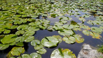 Pond full of water lily leaves desktop wallpapers
