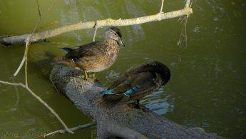 Bébés canards branchus vieillissants fonds d'écran gratuits