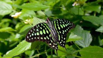 Mottled green butterfly desktop wallpapers