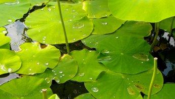 Water beading on lotus leaves desktop wallpapers